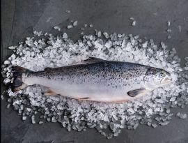 Salmon Frozen